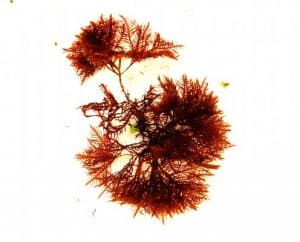 Gelidium or Red Wiry Turf Algae