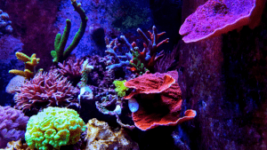 how to get rid of cyanobacteria in reef tank