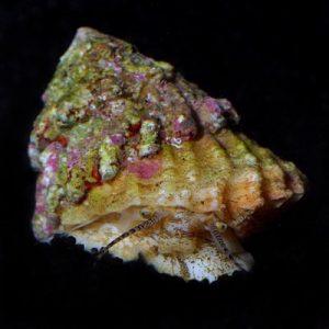 Astrea Snails