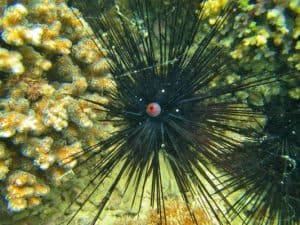 Black Long-Spined Sea Urchins
