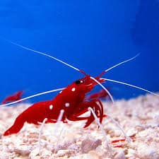 The Blood Red Fire Shrimps