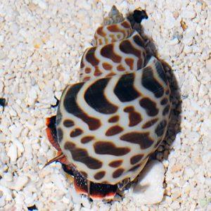 Tiger Nassarius Snails