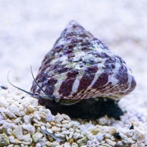 banded trochus snails