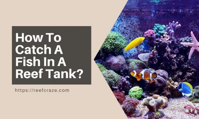 How To Catch A Fish In A Reef Tank?