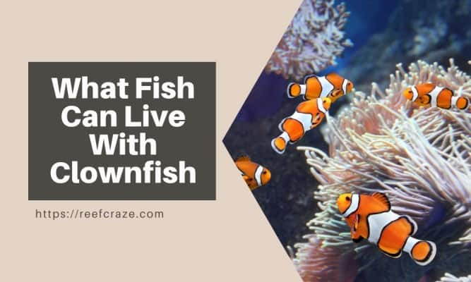 Clownfish Tank Mates: What Fish Can Live With Clownfish?