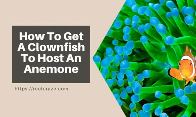 How To Get A Clownfish To Host An Anemone?