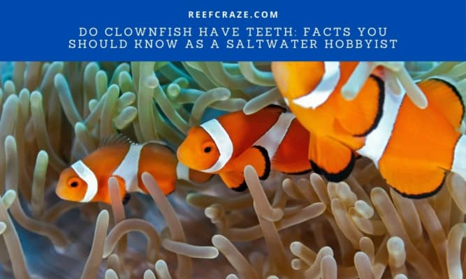 Do Clownfish Have Teeth: Facts You Should Know As A Saltwater Hobbyist