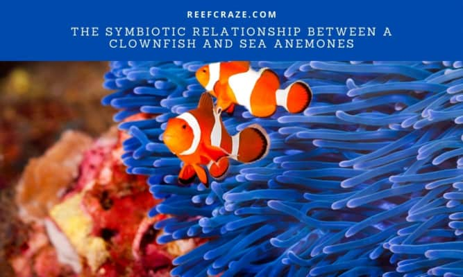 The Symbiotic Relationship Between A Clownfish And Sea Anemones