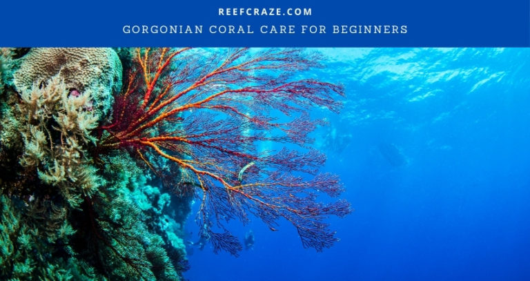 Gorgonian Coral Care For Beginners
