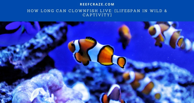 How Long Can Clownfish Live: [Lifespan in Wild & Captivity]