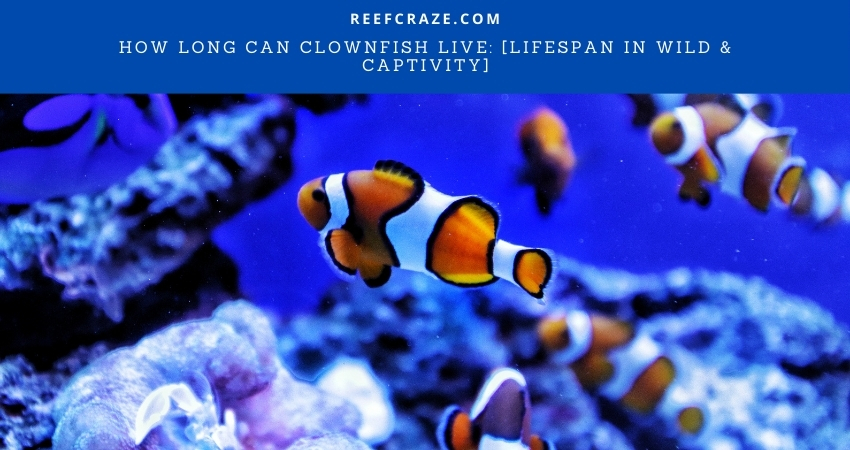 How Long Can Clownfish Live
