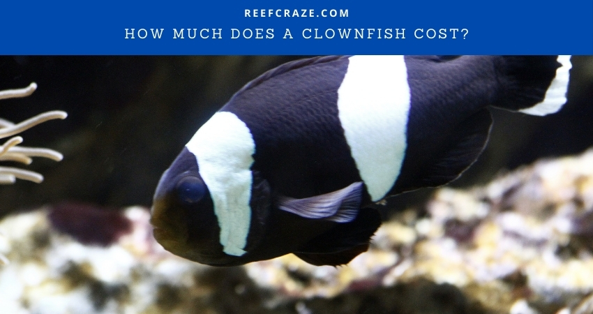How Much Does A Clownfish Cost