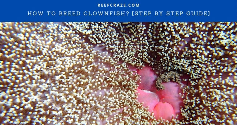 How To Breed Clownfish? [Step By Step Guide]