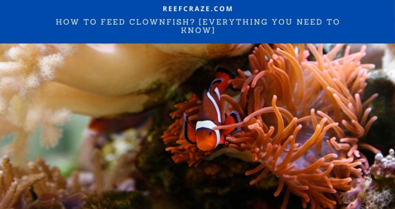 How To Feed Clownfish? [Everything You Need To Know]