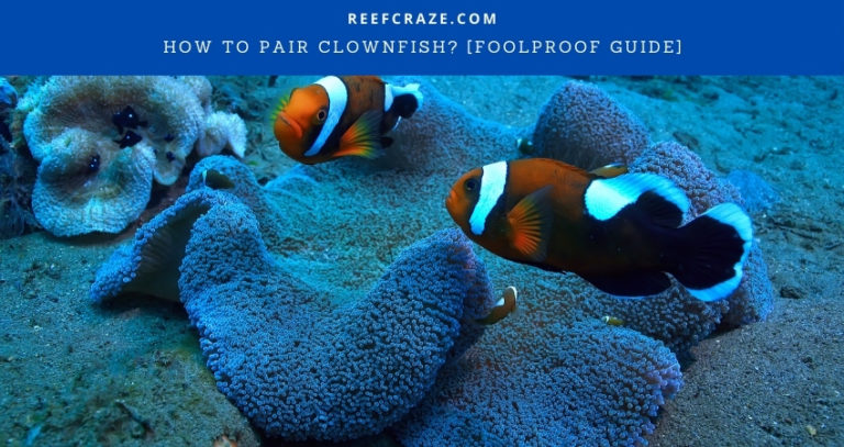 How To Pair Clownfish? [Foolproof Guide]